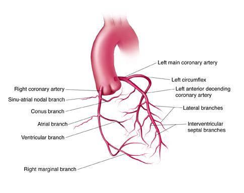 Left main coronary artery anatomy