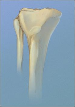 Normal tibia