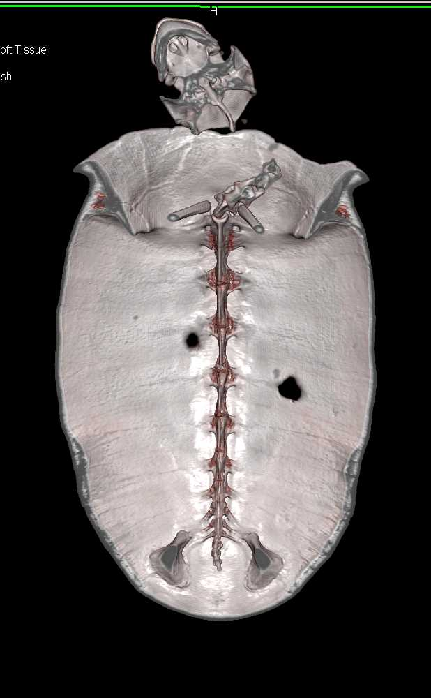 Turtle with Healing Wounds of the Shell - CTisus CT Scanning