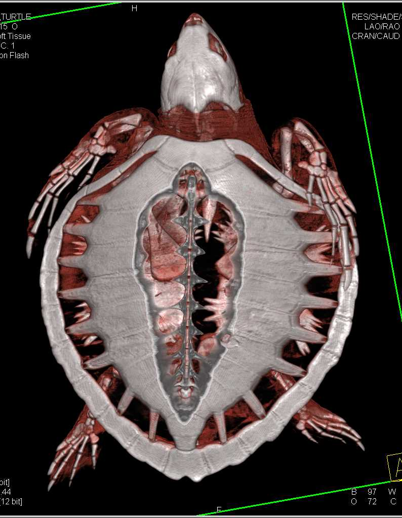 Atlantic Ridley Turner with Infection in the Shell - CTisus CT Scanning
