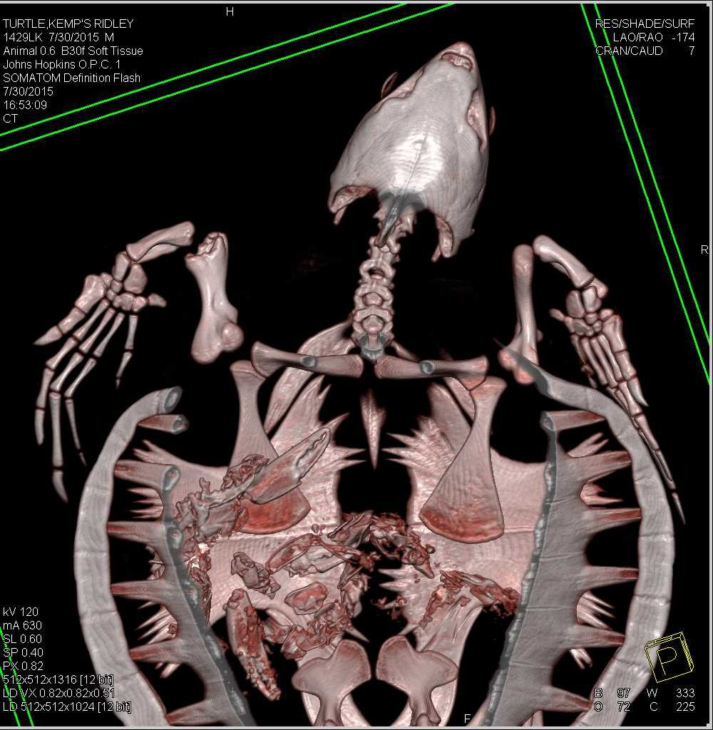 Turtle Who Ate a Lobster the Day Before - CTisus CT Scanning